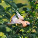 Cedar waxwing, southern waxwing, Canada robin, cedar bird, cherry bird, recellet