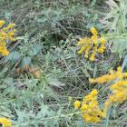 Yellow Top flower