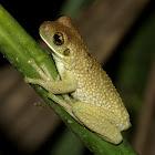 Trachycephalus sp.