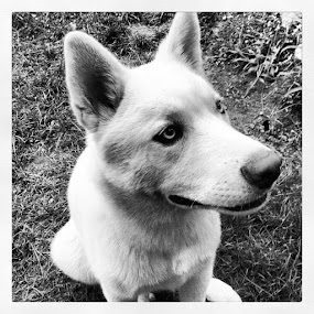 #cute #husky #puppy #ghost #instagood #dog #dogs #pooch by Noah ONeill - Instagram & Mobile Instagram