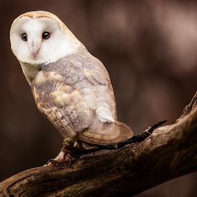 Barn Owl2 by Chris Martin - Animals Birds ( bird, birds of prey, animals, nature, owl, wildlife, birds, owls,  )