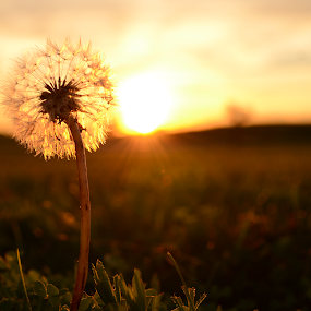 Dandelion Sunset by Micah Jaron Flack - Nature Up Close Flowers - 2011-2013 ( dandelion, sunset, sun )