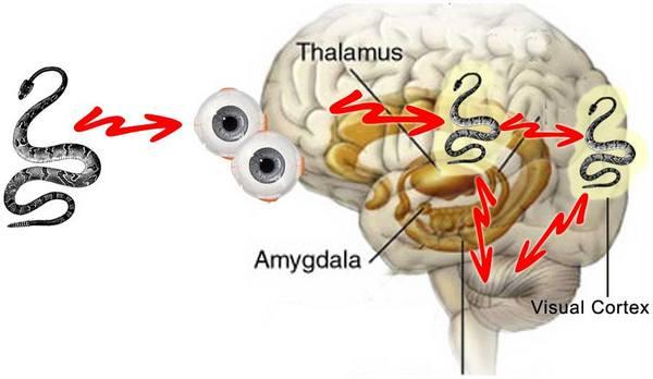 brain-amygdala-thalamus.jpg
