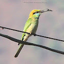 The Blue-bearded Bee-eater