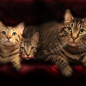 Baby Sitting by Susan Hogan - Animals - Cats Portraits (  )