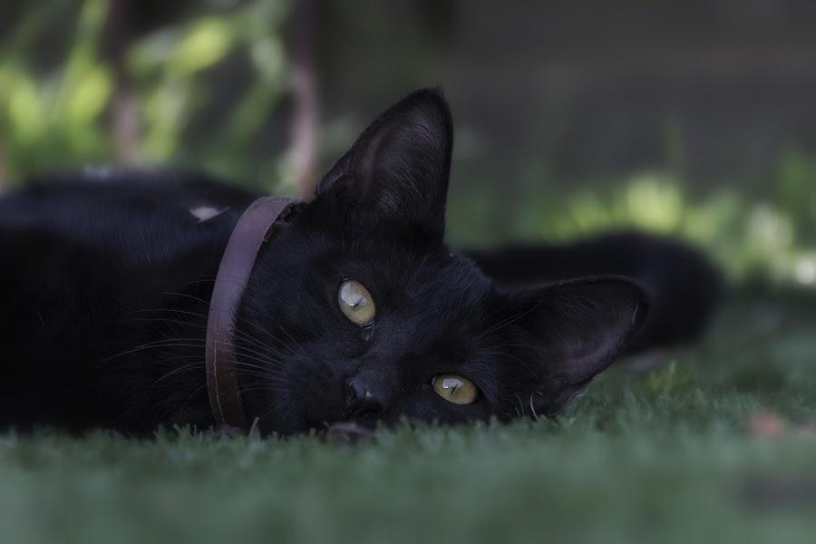Mimoso by Daly Sda - Animals - Cats Portraits ( gato, cat, ternura,  )