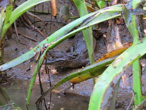 Photo: small croc