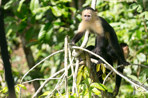 A white-faced capuchin approaches our boat at Monkey Island in Panama.