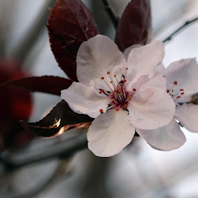 my ornamental plum tree is in bloom by Lauren Manzano - Flowers Tree Blossoms