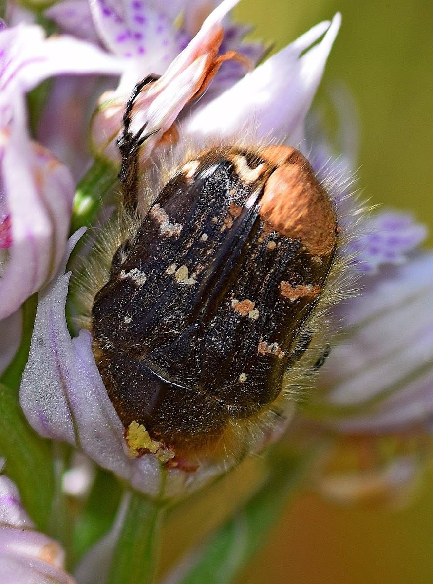 Apple Blossom Beetle