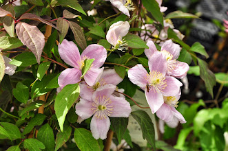 Photo: Clematis montana 'Mayleen'