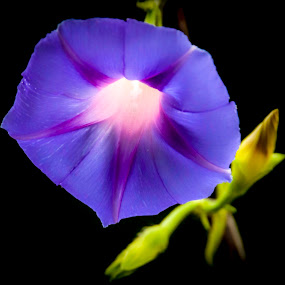 Morning Glory by Roedie Zandberg - Flowers Single Flower ( flower photography, flower photo, flower close up, flower up close, flower, flower nature,  )