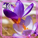 Crocus Flowers Spring icon