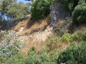 Photo: A close up showing Vetiver growing in poor conglomerate soil, stabilizing nearly vertical slopes while the shrubs/trees fill in .