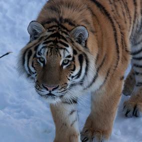 by Francois Larocque - Animals Lions, Tigers & Big Cats ( big cat, face, winter, tiger, snow, feline, animal, eyes )