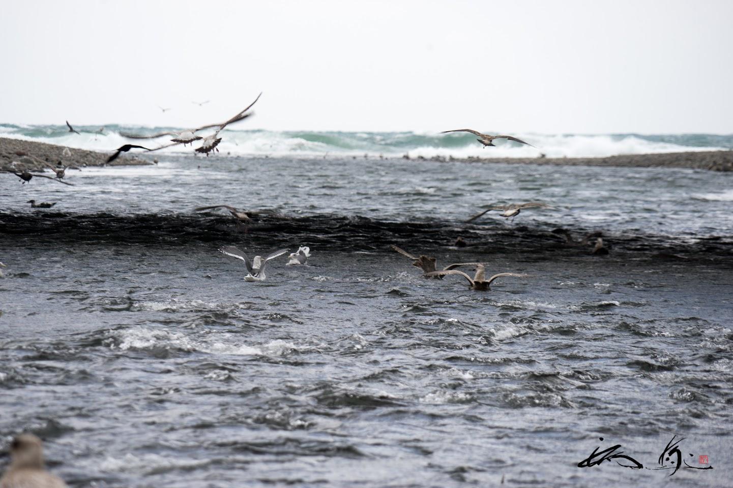遡上する鮭を狙うカモメたち