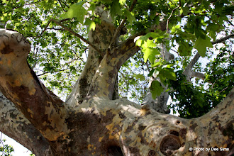 Photo: Day 67 - Plane Tree by the Lake in Tata