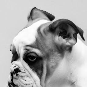 English Bulldog Puppy by Giovanni Bartolomeo - Animals - Dogs Portraits