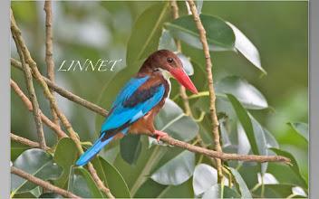 Photo: アオショウビン White-throated Kingfisher