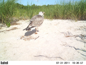 Photo: A juvenile Greater Black Backed Gull - with crab pieces