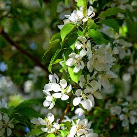 Shadow Blossoms by Rob Bradshaw - Flowers Tree Blossoms ( shadow, university of washington, shadow blossoms, blossoms, tree blossums, spring blossums )