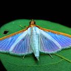 Pearl Moth