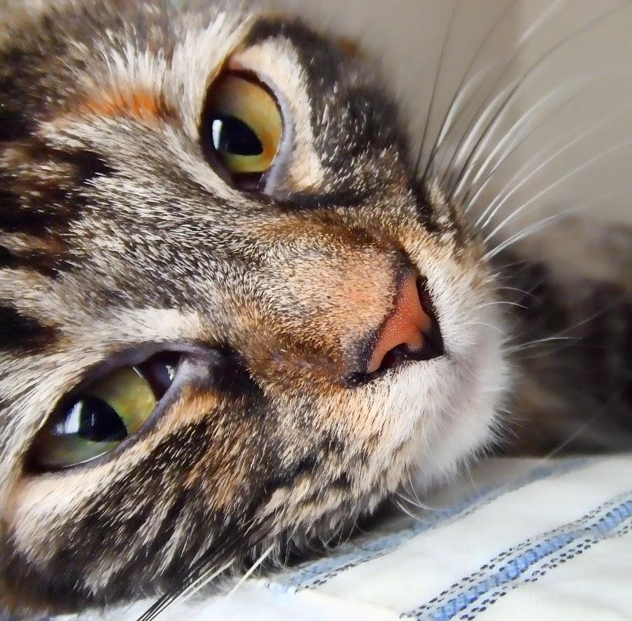 Maine Coon by Jennifer Ellis - Animals - Cats Portraits