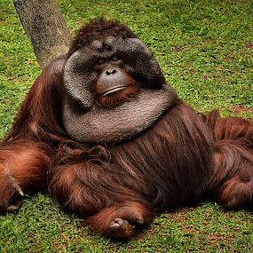 Landlord by Franky Go - Animals Other Mammals ( ape, jungle, orangutan, mammal, monkey, animal )