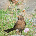 Eurasian Blackbird (female)