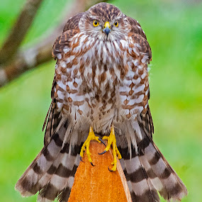 Ready to Attack by Sparty Rodgers - Animals Birds ( bird of prey, boistfort valley, western washington state, sharp-shinned hawk, hawk )