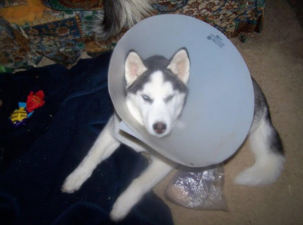 Her first was when she got her collar off and headed  for the...