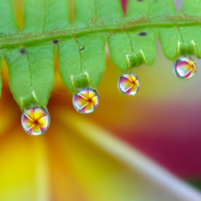 Fern Band and Plumeria by Margie MacPherson - Nature Up Close Natural Waterdrops ( plumeria, fern, macro, water drops, nature, green, pink, yellow, close up, flower, water drop,  )
