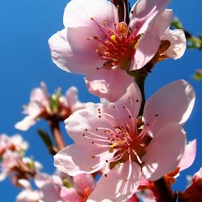 Peach blossom by Snezana Petrovic - Nature Up Close Flowers - 2011-2013 ( macro, sky, stamens, colorful, blue, petals, peach, pink, spring, blossom, soft )