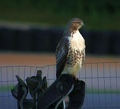 Photo: Friendliest hawk at the track 2011