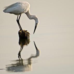 Portrait of an Egret by Wilfredo Garrido - Animals Birds ( birds, egret )