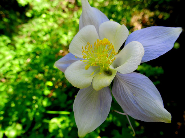 The only Columbine I saw with any blue in the petals