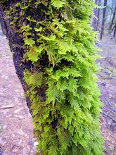 Photo: Fern moss