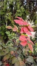 Photo: Mahonia  (Mahonia aquifolium)-Strugure de Oregon - din spatiul verde al Catedralei - 2019.04.06