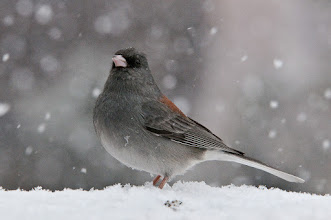 Photo: Dark-eyed junco in snow