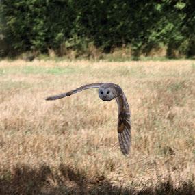 Barn owl watching you by Tony Pitt - Animals Birds ( bird, england, barn owl, pwcmovinganimals, owl, wildlife, hampshire )