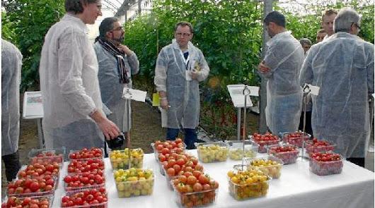 Fiebre por los snacks en los invernaderos almerienses