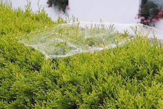 Photo: Takie śliczne pajęczynki były na żywopłotach w Preboldzie