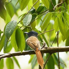 Asian Paradise flycatcher (Sariwang Asia) by Rizal Mandolo - Animals Birds