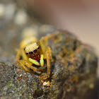 Gold jumping spider