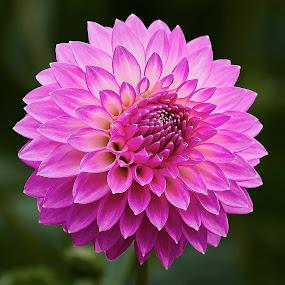 Dahlia 9915~ by Raphael RaCcoon - Flowers Single Flower