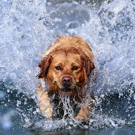 The Cooling Lab by Gareth Evans - Animals - Dogs Playing ( labrador, splash, dog, water )