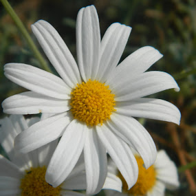 White Flower by Eden Anyabwile - Nature Up Close Flowers - 2011-2013 ( plant, nature, australia, white, daisy )