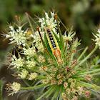 Ionian Bush-cricket