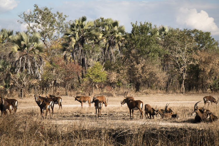 Waterbuck on the savannah of the National Park Gorongosa in the centre of Mozambique