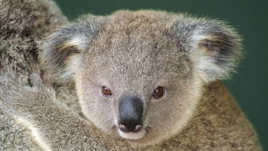 Koala Wallpapers Android Apps On Google Play